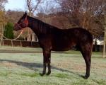 Chalani Skylark at Haydon Horse stud